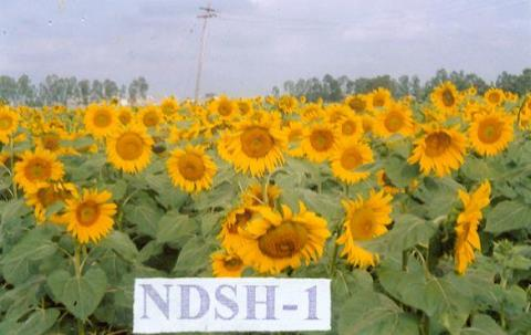 Sunflower Hybrid NDSH-1
