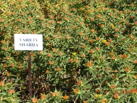 Safflower variety Sharda