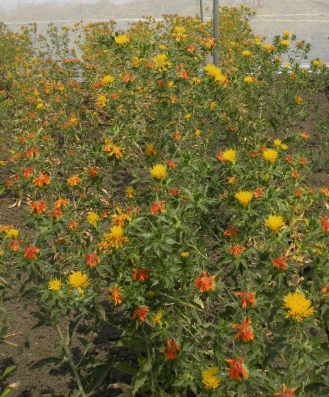 Safflower variety Type-6503